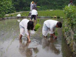 田植えをする学生たち
