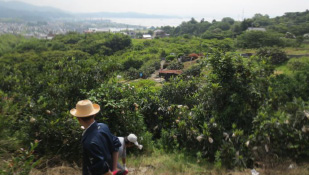 安芸津湾を望む山の傾斜地にあるびわ園
