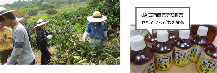 JA芸南が商品化しているビワの葉茶