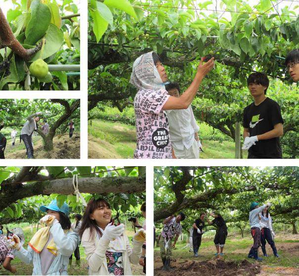 梨の摘果作業2
