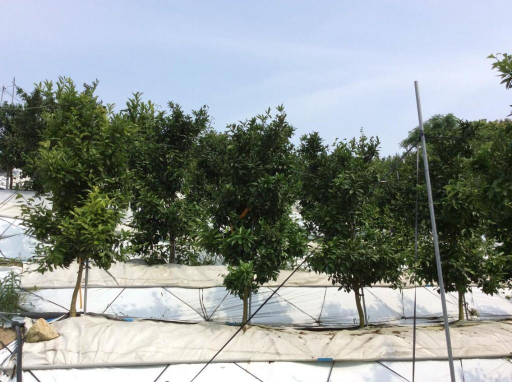 いしじ温州の主幹形栽培